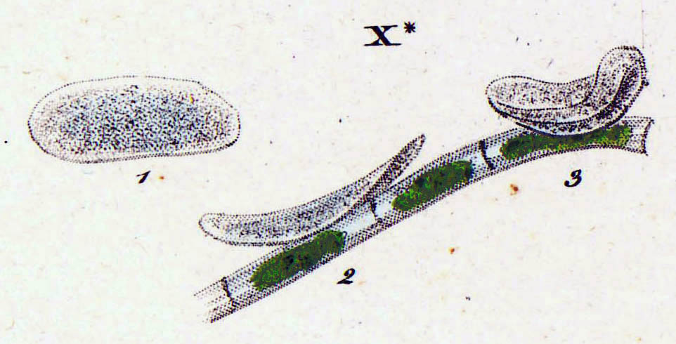 exocytosis in paramecium When the food particle comes near the oral groove the cilia continue to beat and draw the food closer until it is engulfed by the paramecium this process is known as endocytosis (literally, inside the cell.